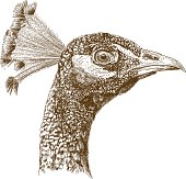 engraving antique illustration of peacock head