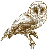 engraving drawing illustration of barn owl