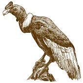 engraving drawing illustration of big andean condor