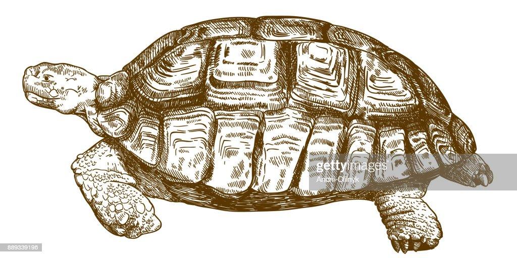 engraving drawing illustration of big turtle