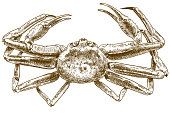engraving drawing illustration of chionoecetes opilio crab