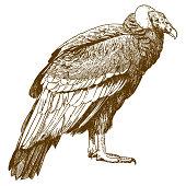 engraving drawing illustration of condor