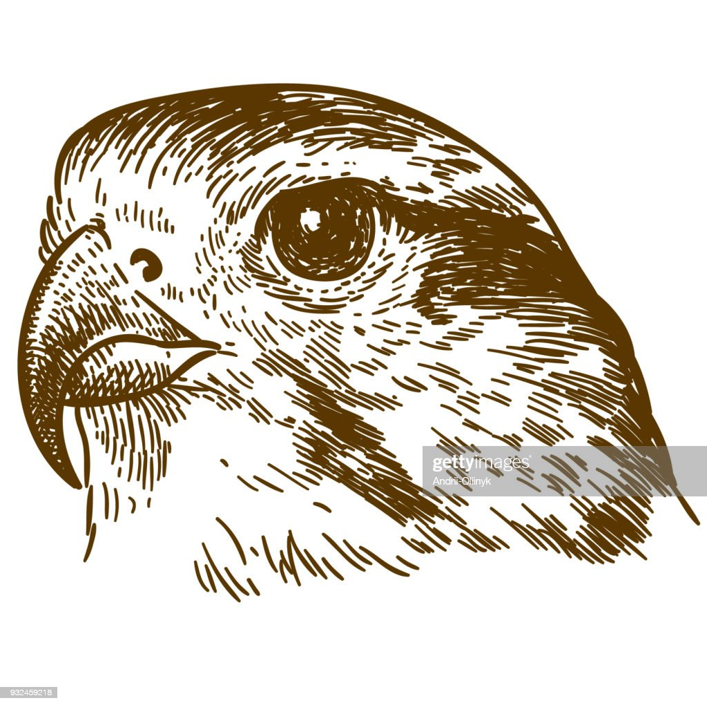 engraving drawing illustration of falcon head