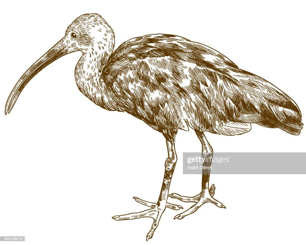 engraving drawing illustration of scarlet ibis
