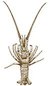 engraving drawing illustration of spiny lobster