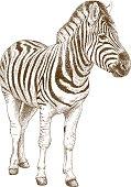 engraving illustration of african zebra