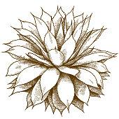 engraving illustration of agave bush
