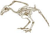 engraving illustration of bird skeleton