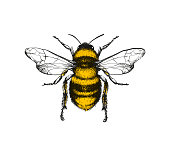 Engraving illustration of honey bee