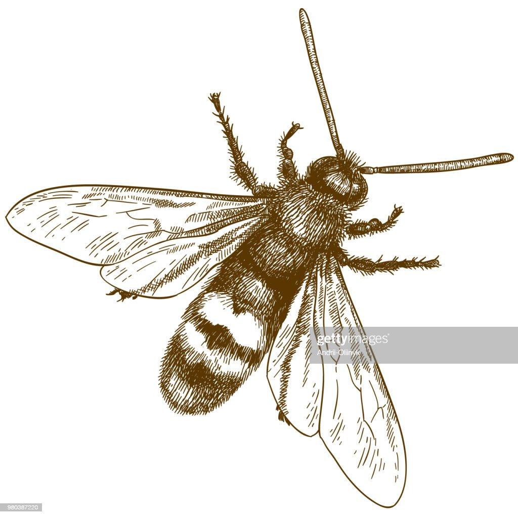engraving illustration of hornet or vespa