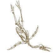 engraving illustration of penguin skeleton