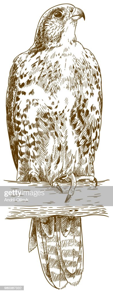 engraving illustration of saker falcon