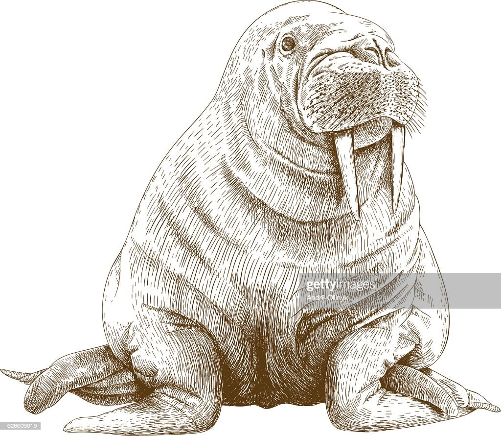 engraving illustration of walrus