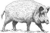 engraving illustration of wild boar