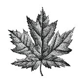 Engraving Maple Leaf Hand Drawn Vector Illustration