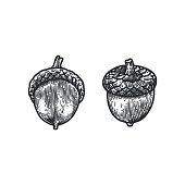 Engraving Oak Acorn isolated on white background.