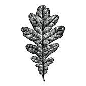 Engraving Oak Leaf Hand Drawn Vector Illustration