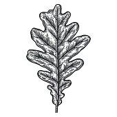 Engraving Oak Leaf isolated on white background.