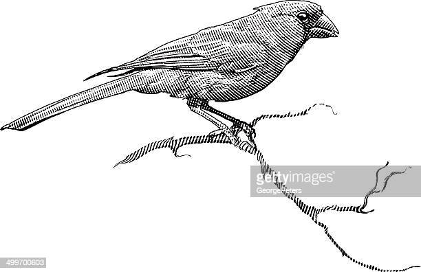 engraving of a male cardinal - scratchboard stock illustrations
