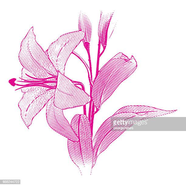 engraving of a single white lily - easter lily stock illustrations