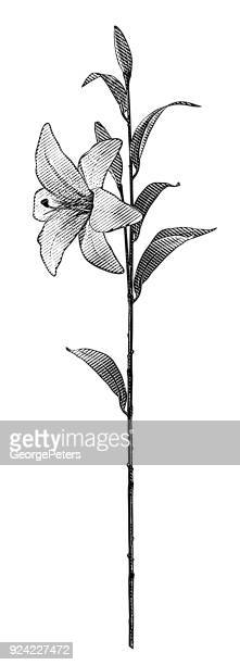 engraving of a single white lily with long stem - easter lily stock illustrations