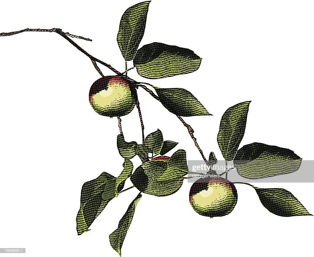 Engraving of Apple Tree Branch