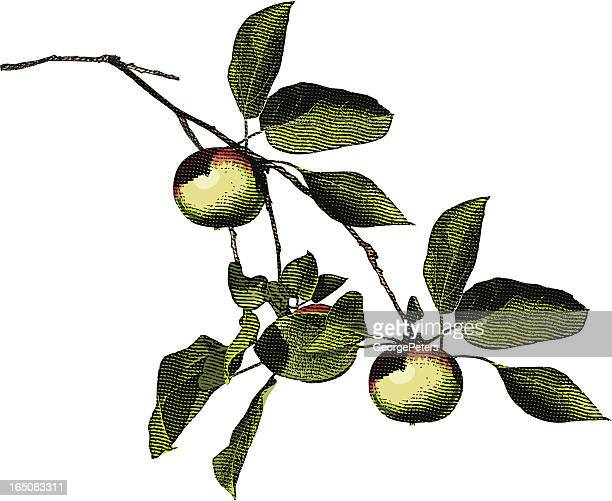 Engraving of Apple Tree Branch