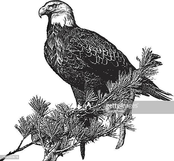 engraving of bald eagle - talon stock illustrations