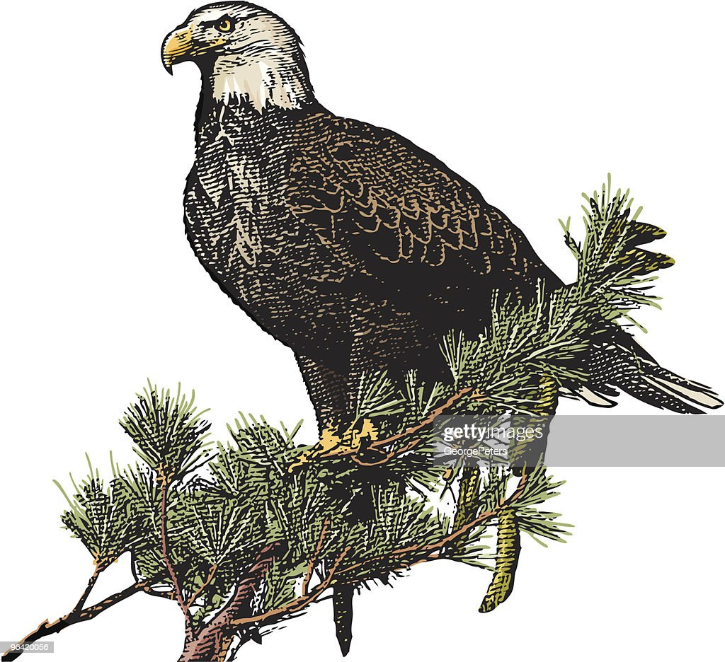 Engraving of Bald Eagle