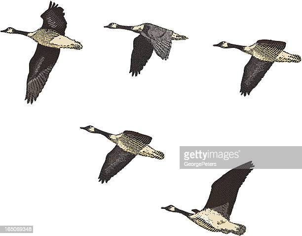 Engraving of Canada Geese