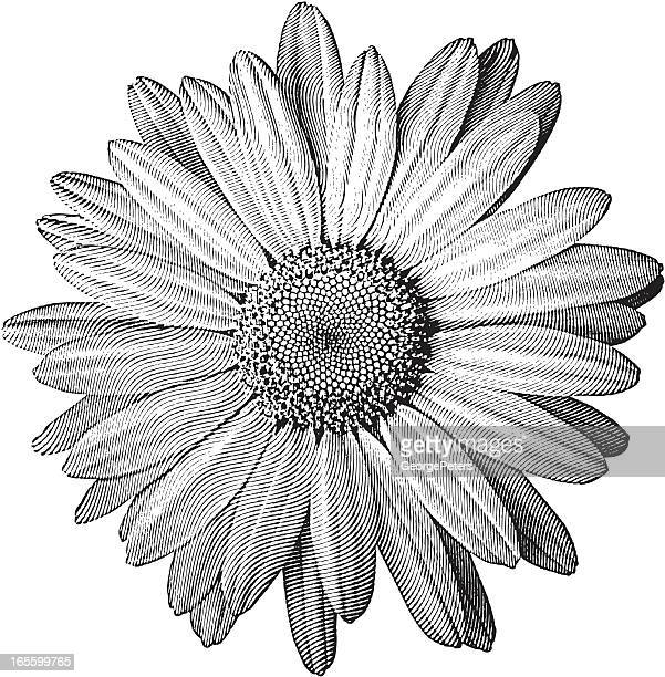 Engraving of Daisy