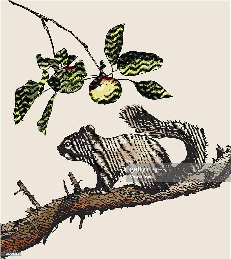 Gravur von Borstenhörnchen : Vektorgrafik
