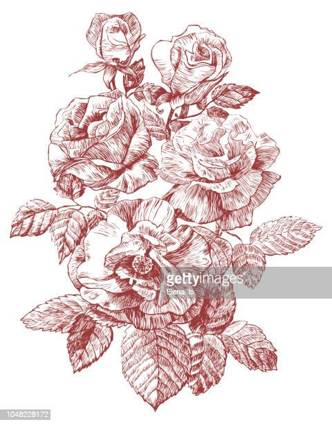 engraving rose vector illustration. three flowers and buds - rosa stock illustrations