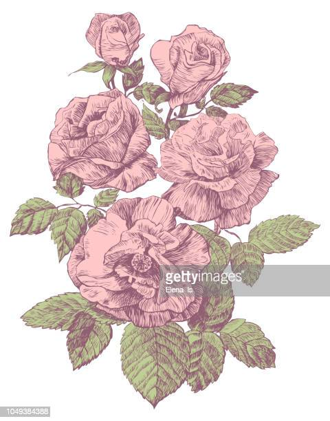 gravur-rose vektor-illustration - rosa stock-grafiken, -clipart, -cartoons und -symbole