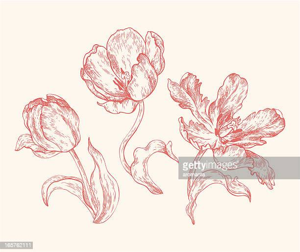 Engravings Tulips