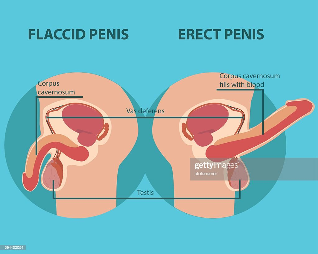 Erection Of Male Sex Organ Penis Vektorgrafik | Getty Images