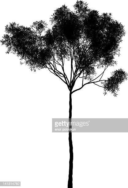 eucalyptus collina - eucalyptus tree stock illustrations