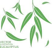 Eucalyptus. Isolated leaves on white background