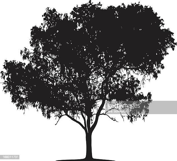 eucalyptus tree silhouette, vector - eucalyptus tree stock illustrations
