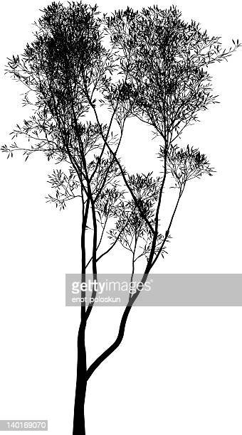 eucalyptus yilgarnensis - eucalyptus tree stock illustrations