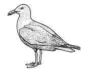 European herring gull illustration, drawing, engraving, ink, line   art, vector