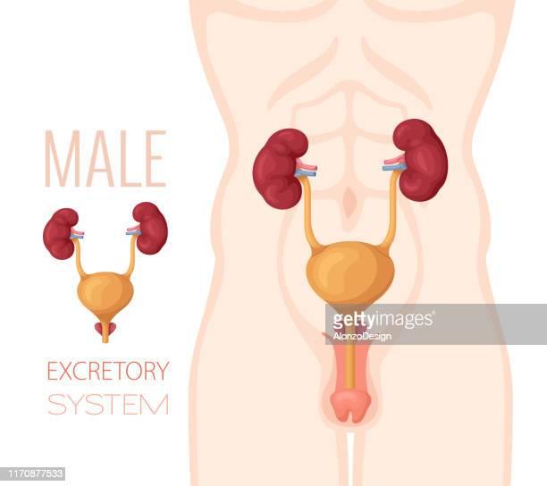 excretory system anatomy. male body. - prostate gland stock illustrations, clip art, cartoons, & icons