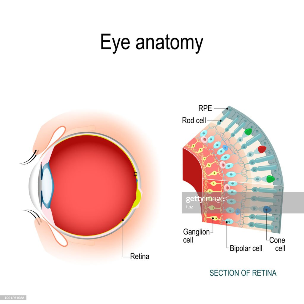 Eye anatomy. Rod cells and cone cells. : stock illustration