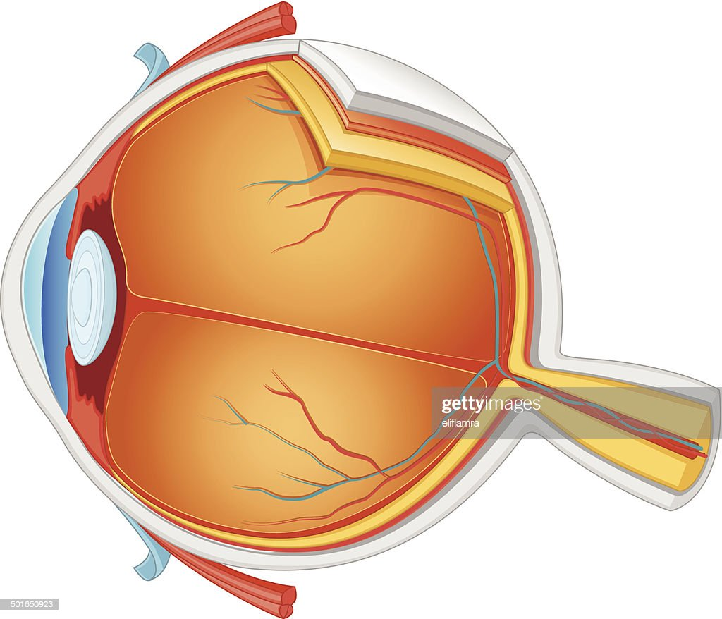 Eye Anatomy Vector Illustration Vector Art | Getty Images