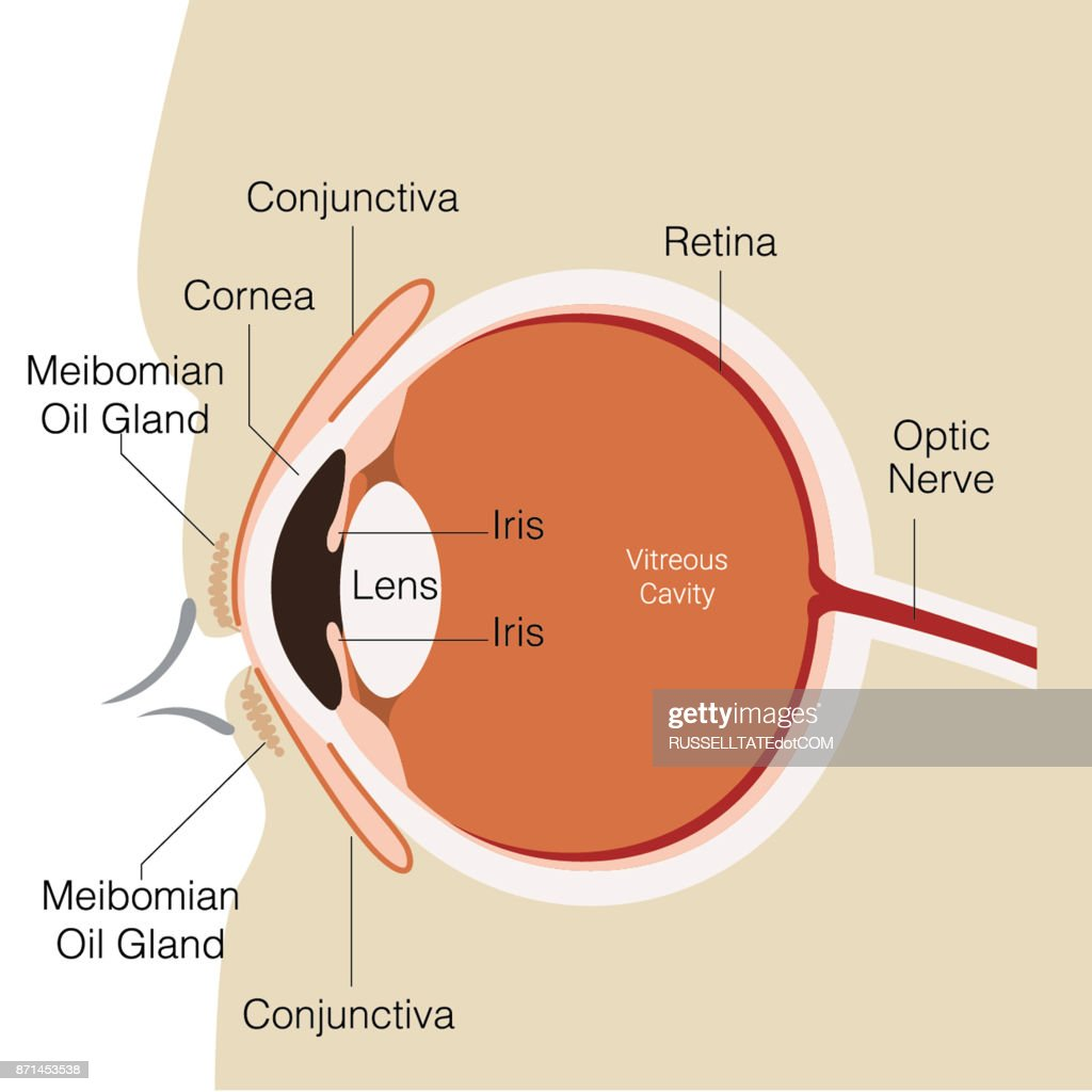 Eye-Conjunctiva : stock illustration