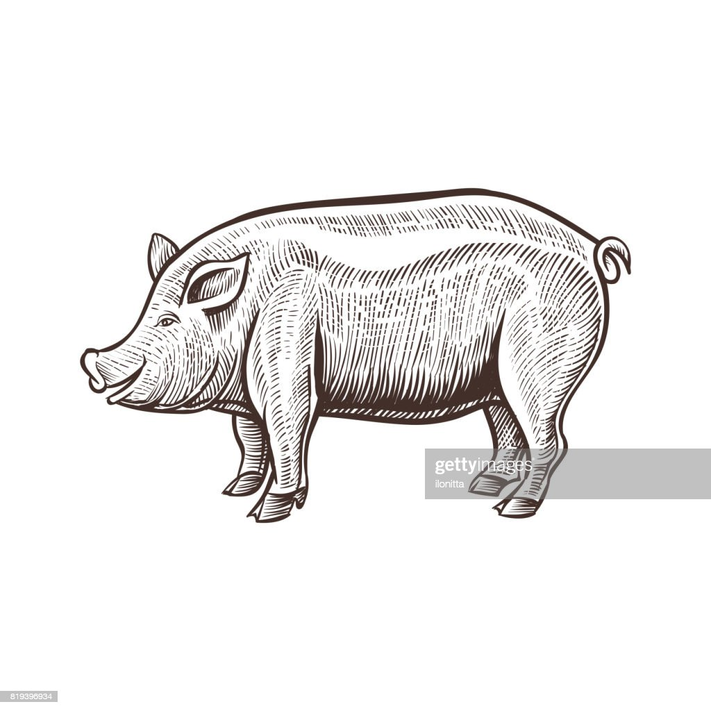 Farm pig animal sketch, isolated pork on the white background. Vintage style