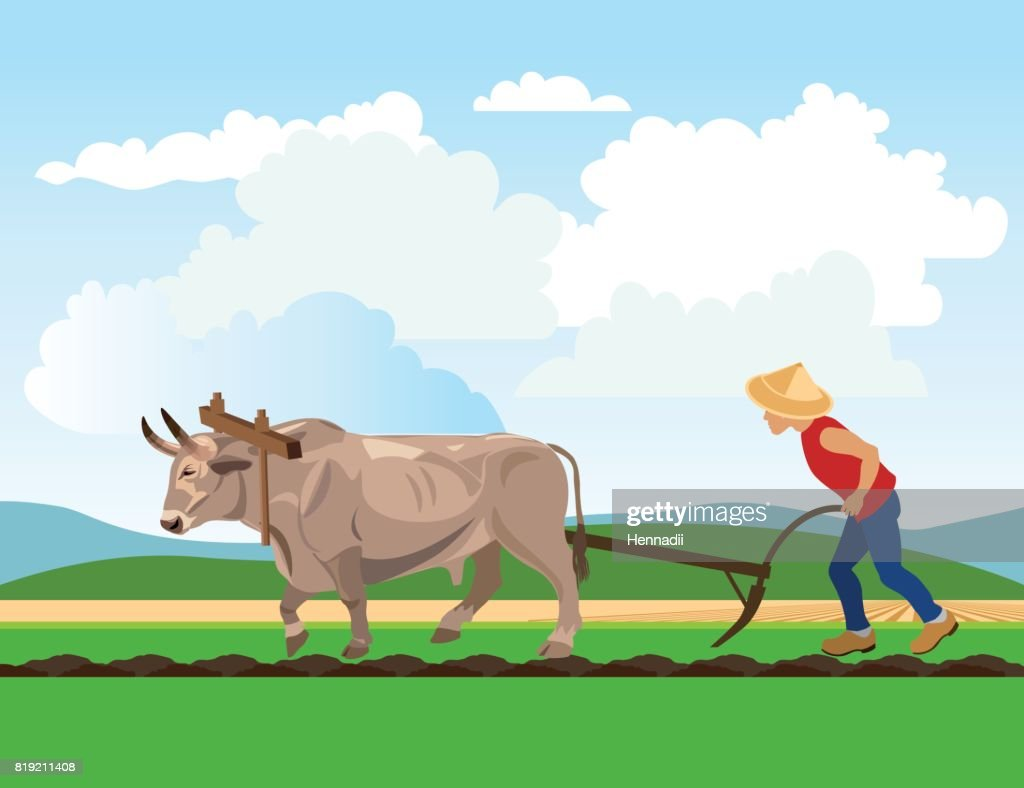 Farmer plowing paddy field with ox