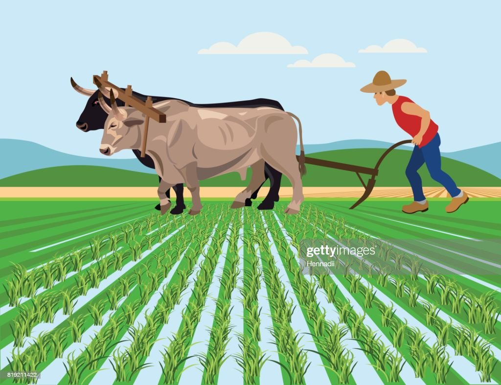 Farmer plowing paddy field with oxen