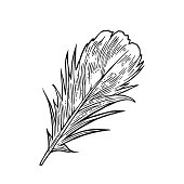 Feather. Vintage black vector engraving illustration. Isolated white background