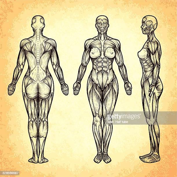 Menschlicher Muskel Vektorgrafiken und Illustrationen | Getty Images